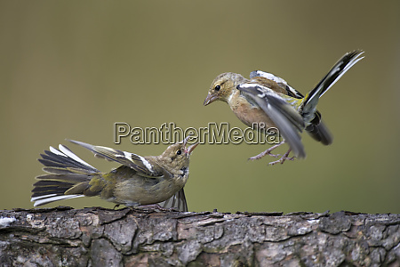 close up of chaffinches on tree