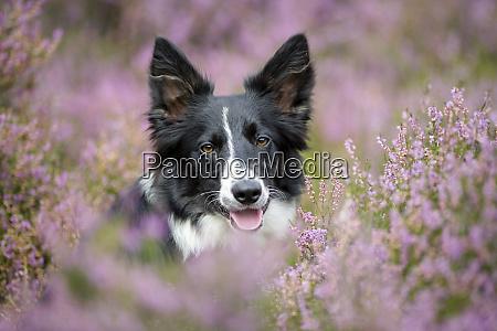 portrait of border collie in flowering
