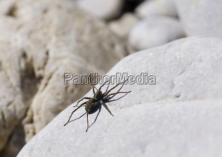 germany bavaria geretsried wolf spider arctosa