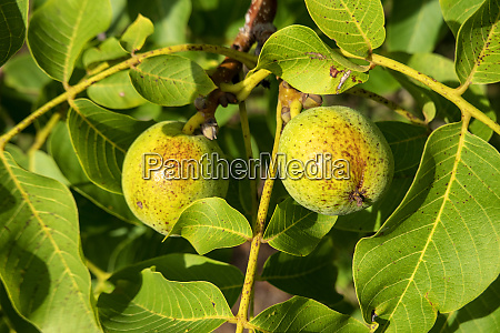 close up of walnuts growing on