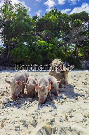 new caledonia lifou pigs at the