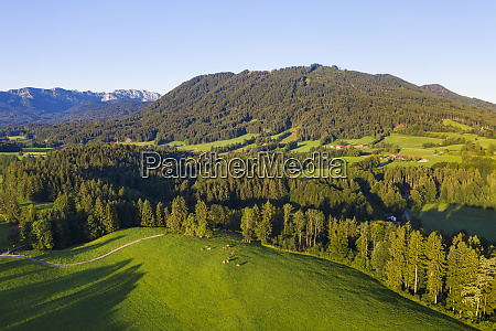 aerial view of cow pasture and