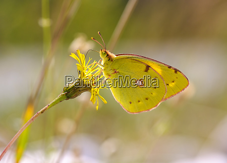 close up of yellow butterfly pollinating