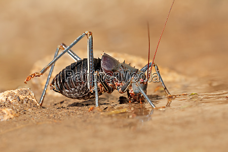 african armoured ground cricket