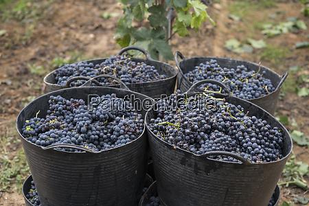 harvested grapes in harvest baskets
