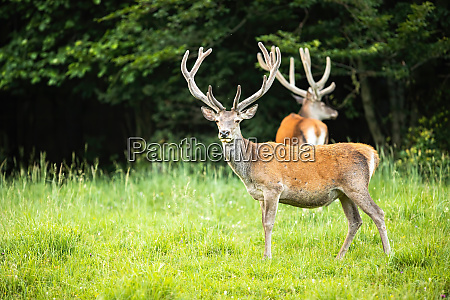 red deer herd with stags standing