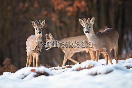 multiple wild deer bucks in wintry