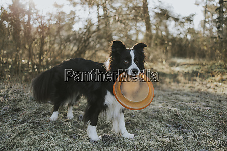 border collie with frisbee in the