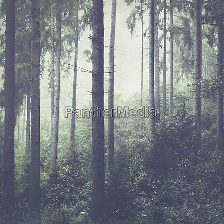 fir forest and fog