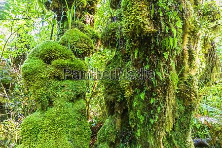 new zealand greenmoss coveredtrees in egmont