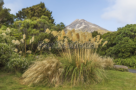 new zealand reeds growing in egmont