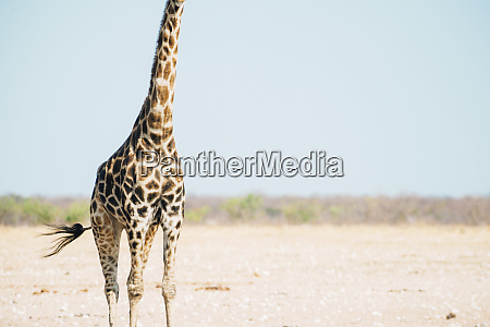 namibia mid section of lone giraffe
