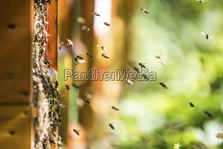 bees swarming around beehive