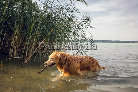 golden retriever walking at lakeside
