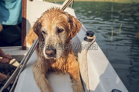 golden retriever lying on boat