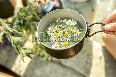 fresh chamomile in pot with water