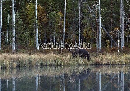 finland kuhmo brown bear ursus arctos