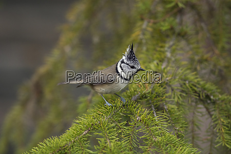 crested tit lophophanes cristatus on a