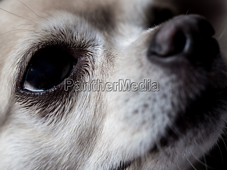 close up of a chihuahua in