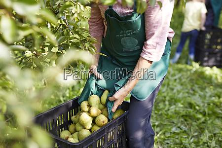 organic farmers harvesting williams pears