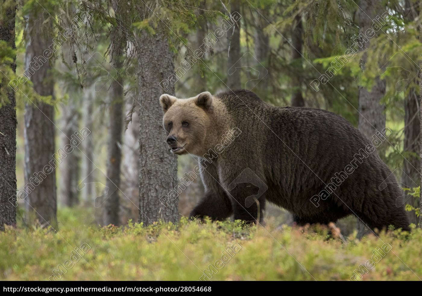 brown, bear, in, autumnal, forest, , kuhmo, - 28054668