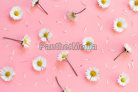 white daisies on a light pink