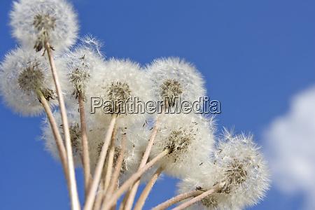 dandelions - 28061925