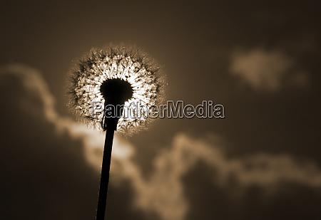 silhouette, of, dandelion - 28061955