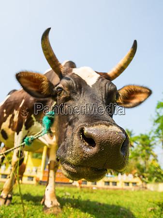 cow, funny, face, closeup, , ceylon - 28062867