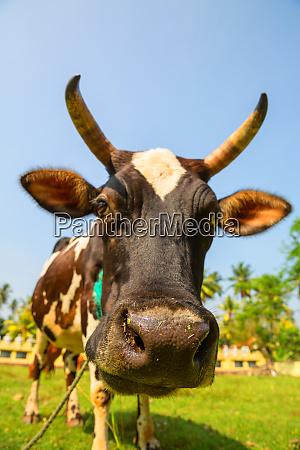 cow, funny, face, closeup, , ceylon - 28062930