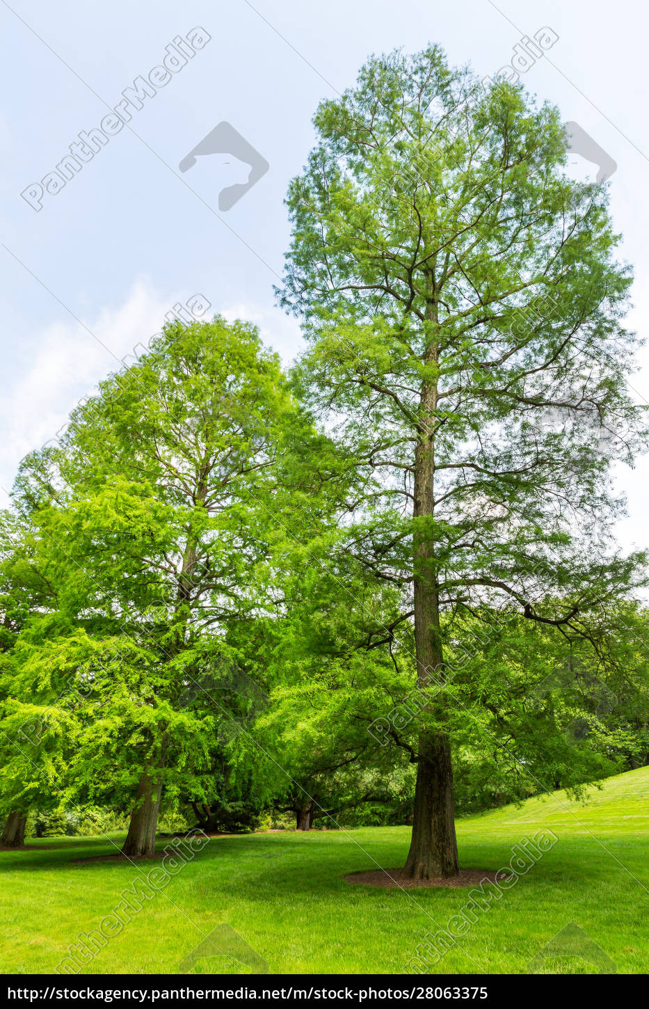 , trees, on, a, fresh, meadow. - 28063375