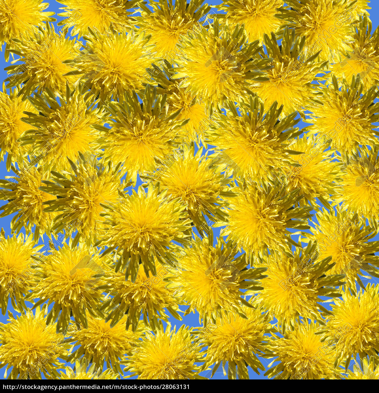 dandelions, background - 28063131