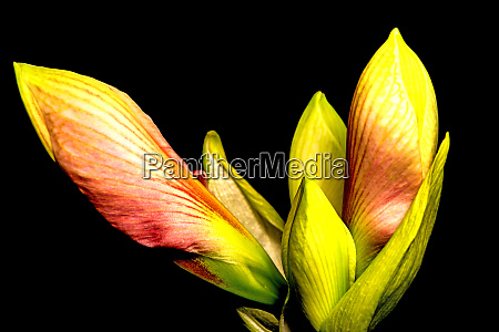 amaryllis flower in a closeup
