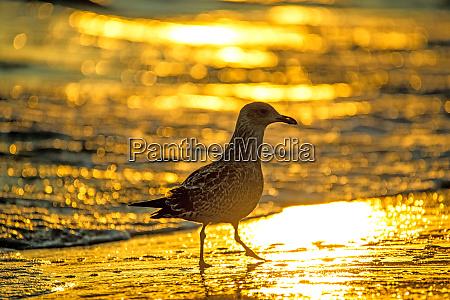 herring gull on a beach of