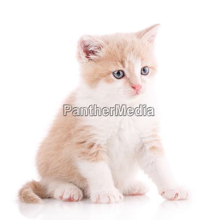 cat is isolated on white pet