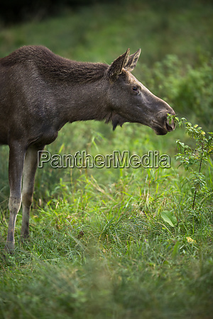 european moose alces alces also known