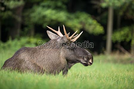 european moose alces alces also known
