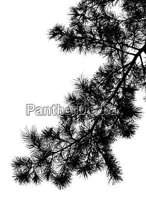 silhouette, of, pine, tree, branch - 28083360