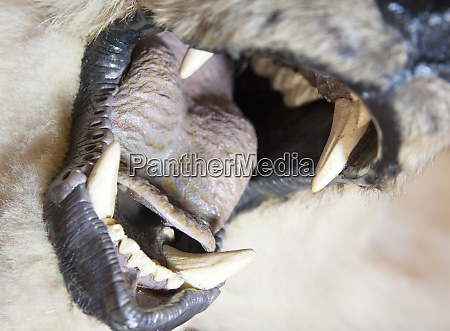 bear open mouth