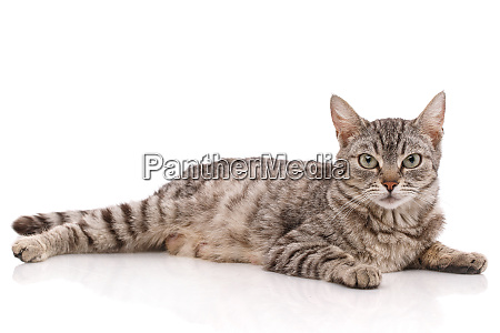 striped gray cat lies on a