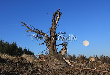 clearcutting deforestation sawed off spruce stub