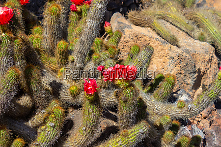cactus with red blossom in jardin
