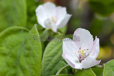quince flowers blossoms with leaves landscape