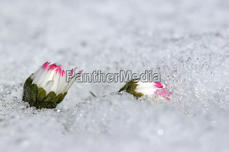 daisies in the snow snowfall in