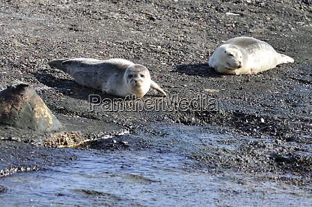 robbenjunge seal cub