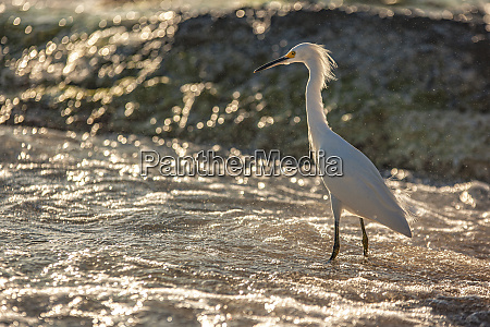 bubulcus ibis in dominican seashore 7