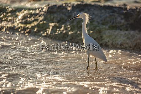 bubulcus ibis in dominican beach 9