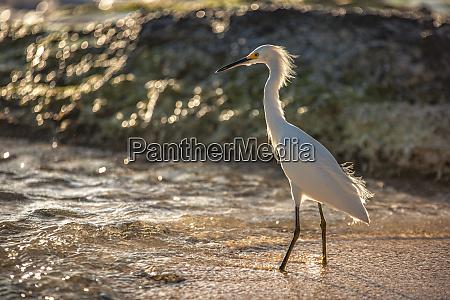 bubulcus ibis in dominican seashore 8