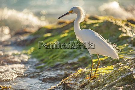 bubulcus ibis in dominican seashore 13
