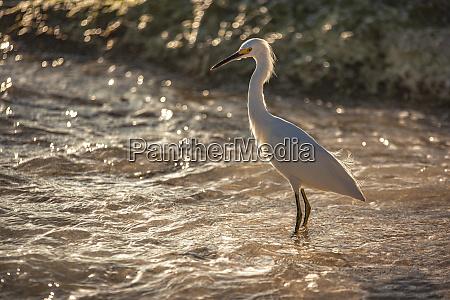 bubulcus ibis in dominican beach 8